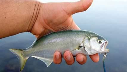 Çinekop balığı nasıl temizlenir? Çinekop balığını ayıklama yöntemleri