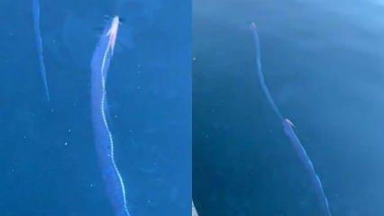 Japonların felaket balığı dediği: Kral Ringa yine ortaya çıktı!