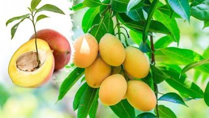 Mango çekirdeği nasıl çimlendirilir Mango çekirdeği nasıl ekilir