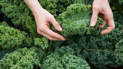 Bağışıklığı güçlendiren: Kale bitkisinin faydaları nelerdir? Kale bitkisi nasıl tüketilir?