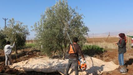 Devlet desteğiyle zeytin bahçesi kurdu, 30 işçiyi istihdam ediyor