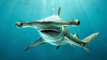 Korkutan görüntüler! Florida kıyılarının açıklarında çekiç kafalı köpekbalığı...