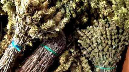Korona virüse karşı adaçayı ve ebegümeci çayı nasıl hazırlanır? Adaçayı faydaları nelerdir?