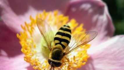 Koronavirüs için bal arısı detayı! Bilim insanları harekete geçti