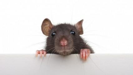 Rüyada siyah fare görmek ne demek? Rüyada siyah fare öldürmek neye işaret eder?