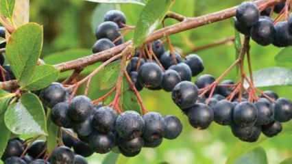 Aronya meyvesi nedir, hangi hastalıklardan korur? Aronya meyvesinin faydaları nelerdir?