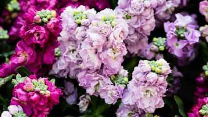 Şebboy çiçeğinin evde bakımı nasıl yapılır? Şebboy çiçeğinin özellikleri...