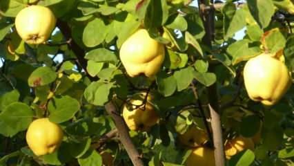 Ayva yaprağı çayının faydaları nelerdir? Taze ayva yaprağı nasıl kurutulur?