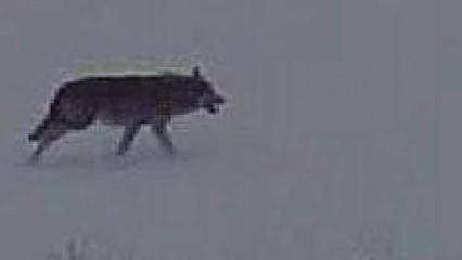 Aç kalan kurtlar Kangal'ı böyle yedi! Kayseri'de dehşet anları