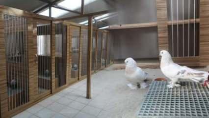 Lüks otomobil fiyatına satılan güvercinler beş yıldızlı oteli andıran yerlerde bakılıyor