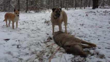 Çoban köpekleri kurdu böyle boğdu!