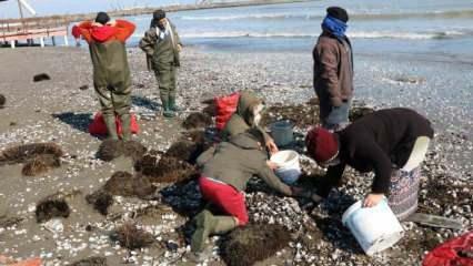 Samsun'da dalgaların kıyıya attığı salyangozlar kadınların ekmek kapısı oldu!