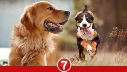 Rüyada köpek ısırması görmek ne anlama gelir? Rüyada köpek kovalaması neye işarettir?