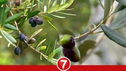 Rüyada dalında zeytin görmek ne demek? Rüyada zeytin ağacı görmek ne anlama gelir?