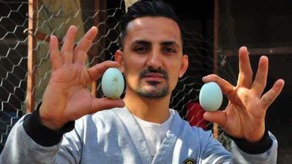 'Altın yumurtlayan tavuk' Manisa'da gerçek oldu!