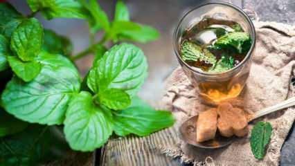Taze nanenin faydaları nelerdir? Soğuk algınlığa iyi gelen nane limon çayı nasıl yapılır?