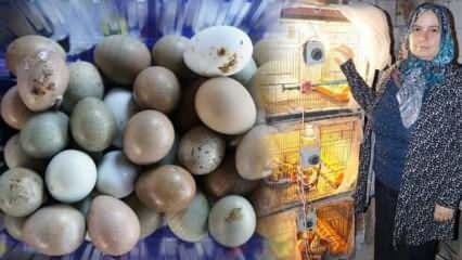 Bıldırcın yumurtası üretti! Kızına şifa kendine gelir kapısı oldu