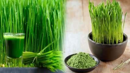 Doğanın mucizesi buğday çimi! Sindirim sistemini düzenliyor, hazmı kolaylaştırıyor