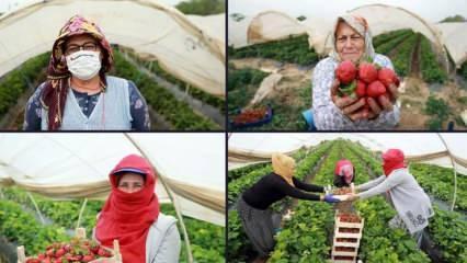 Çilek seralarında kadın işçilerin 'emek mücadelesi'