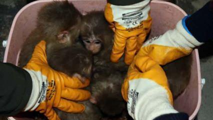 Kaçak maymun yavruları yakalandı