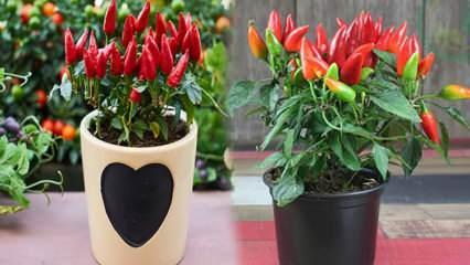 Saksıda tohumsuz sebze nasıl yetişir? Saksıda kırmızı biber yetiştirme