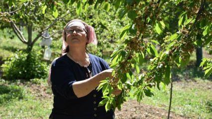 Bilecik'te bir köyde 650 kiraz ağacı 1 yıllığına kiralandı!