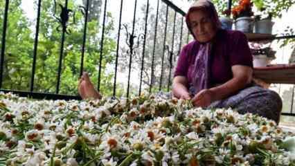 Kadınlar topladıkları papatyaları ilaç sektörü için kurutup satıyor!