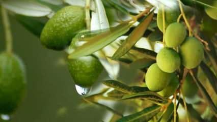 Zeytin yaprağı faydaları nelerdir? Zeytin yaprağı çayı nasıl yapılır?