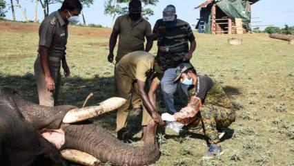 Korona hayvanları da vurdu! Hindistan'da 28 fil koronavirüs oldu