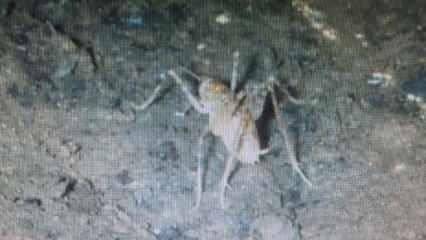 Diyarbakır'da mağara çekirgesi görüldü, yeni bir tür olabilir!