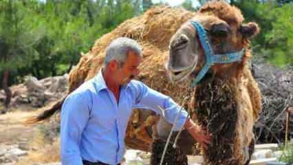 Şampiyon deve kurbanlık oldu! İşte fiyatı...