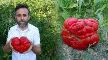 Tarlada buldukları 1 kilo 372 gramlık maniye cinsi domates görenleri şok etti!