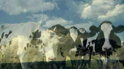 Rüyada inek görmek nedir? Rüyada inek ve buzağı görmek neye işaret eder?