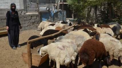 Devletten destek aldı! 40 koyunla başladı 120 koyuna ulaştı
