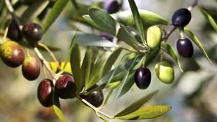 Zeytin yaprağı çayı faydaları nelerdir? Zeytin yaprağı çayı nasıl yapılır?