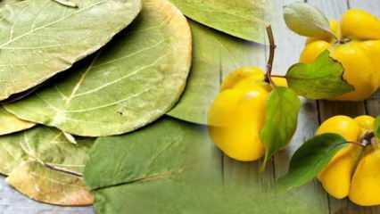 Ayva yaprağı ne işe yarar? Ayva yaprağı çayının faydaları...