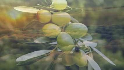 Rüyada dalında zeytin görmek ne demek? Rüyada yeşil zeytin görmek ne anlama gelir?