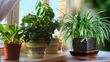 Evin havasını temizleyen bitkiler! Gece rahat uyumanız için oksijen veren bitkiler...