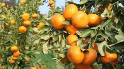 Adana'da 2 yeni yerli ve milli mandarin çeşidi geliştirildi