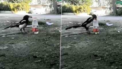 Karganın şişeden su içme yöntemi ağızlar açık bıraktırdı!
