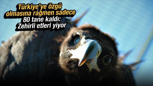 Türkiye'ye özgü olmasına rağmen sadece 80 tane kaldı: Zehirli etleri yiyor